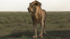 Lion (Panthera leo) male looking around, Wildebeest migration walking in the background