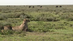 Cheetah (Acinonyx jubatus) overlooking a herd of Wildebeest (Connochaetes taurinus)