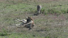 Cheetah (Acinonyx jubatus) sufficating a Wildebeest calf (Connochaetes taurinus) while her cub is watching