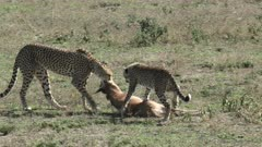 Cheetah (Acinonyx jubatus) dragging a Wildebeest calf (Connochaetes taurinus)  teaching her cub to kill