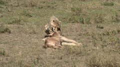 Cheetah (Acinonyx jubatus)  cub with a just caught Wildebeest calf (Connochaetes taurinus) imitating his mother to kill