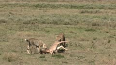 Cheetah (Acinonyx jubatus) dragging a Wildebeest calf (Connochaetes taurinus)  towards higher grasses, her cub is following