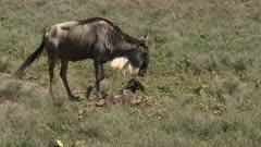 Blue Wildebeest (Connochaetes taurinus)  female  sniffing her newborn calf