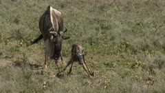 Blue Wildebeest (Connochaetes taurinus)  newborn calf tumbling and falling while trying to stand up