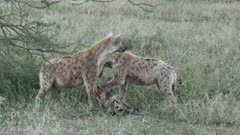 Spotted Hyena (Crocuta crocuta) two, eating from a Wildebeest carcass
