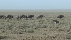 Spotted Hyena (Crocuta crocuta) looking at a Wildebeest herd passing by