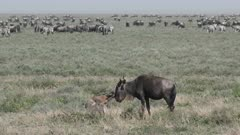 Blue Wildebeest (Connochaetes taurinus)  calf running wobbly towards its mother who is trying to catch up with the herd
