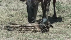 Blue Wildebeest (Connochaetes taurinus)  newborn calf trying to get up