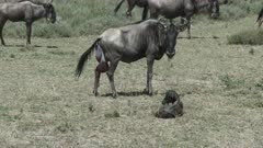Blue Wildebeest (Connochaetes taurinus)  female with newborn calf lying beside her, afterbirth still visible
