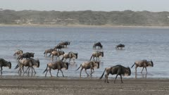 Blue Wildebeest (Connochaetes taurinus)  herd walking through Ndutu lake