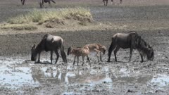 Blue Wildebeest (Connochaetes taurinus)  herd with their calfs slogging through the mud,  around a drying pond to drink