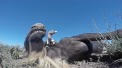 Vulture eating from a Blue Wildebeest (Connochaetes taurinus) in close-up low angle view