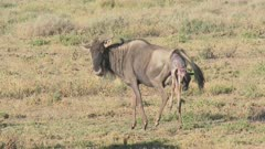 Blue Wildebeest (Connochaetes taurinus)  female walking while she's giving birth and her calf is halfway out