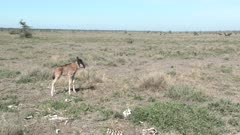 Blue Wildebeest (Connochaetes taurinus)  calf seems to have lost its mother