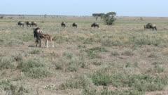 Blue Wildebeest (Connochaetes taurinus)  calf has found its mother