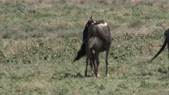 Blue Wildebeest (Connochaetes taurinus)  female standing while she's giving birth and her calf falls on the ground