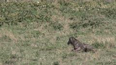 Blue Wildebeest (Connochaetes taurinus) calf struggling to get on his feet