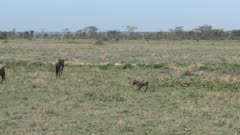 Blue Wildebeest (Connochaetes taurinus) calf walking towards the wrong mother and got pushed away