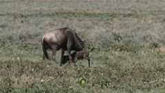 Blue Wildebeest (Connochaetes taurinus) calf being molested by the wrong mother.