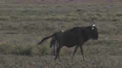 Blue Wildebeest (Connochaetes taurinus)  female giving birth starts running because Kori scares her and her calf falls on the ground