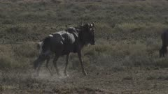 Blue Wildebeest (Connochaetes taurinus)  female giving birth while walking, calf falls on the ground and scares others