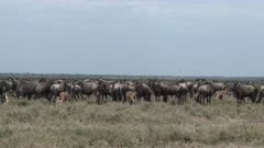 Blue Wildebeest (Connochaetes taurinus)  herd with several newborns standing on the plains