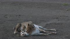 Cheetah (Acinonyx jubatus) cub practice to kill a Thomsons gazelle