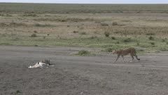 Cheetah (Acinonyx jubatus) mother is coming to help cub by opening  a Thomsons gazelle
