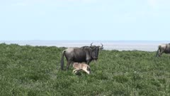 Blue Wildebeest (Connochaetes taurinus)  female nursing her newborn calf