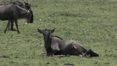 Blue Wildebeest (Connochaetes taurinus)  female giving birth