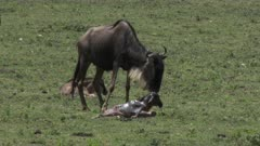 Blue Wildebeest (Connochaetes taurinus)  female just gave birth, standing next to her calf which is trying to stand
