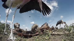 Diversity of vultures eating from a Zebra (Equus quagga) in close-up low angle view