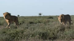 Two male Lions (Panthera leo) walking together on the plains