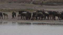 Blue Wildebeest (Connochaetes taurinus)  group with newborns resting on beach of a lake