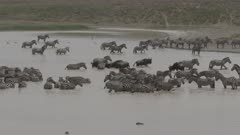 Blue Wildebeest (Connochaetes taurinus) and Zebra ( Equus quagga) group standing together in water to drink