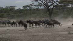 Blue Wildebeest (Connochaetes taurinus) herd with their newborns migrating through the woodlands