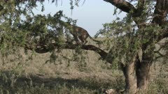 Cheetah (Acinonyx jubatus)  defecating on a branch in a tree