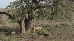 Cheetah (Acinonyx jubatus)  coming down from a tree