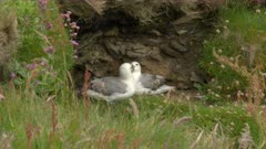 Northern fulmar (Fulmarus glacialis) couple in courtship while sitting on a cliff