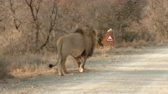 African lion (Panthera leo) walking on the road with a road sign beside