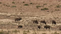 Black wildebeest or White-tailed gnu (Connochaetes gnou) herd at Mountain Zebra N.P.