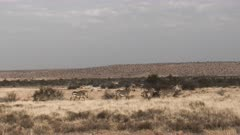 Cape Mountain Zebra (Equus zebra) herd looking alert in distance  at Mountain Zebra N.P.
