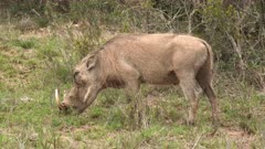 Warthog (Phacochoerus africanus) grazing close-up, Addo Elephant N.P.