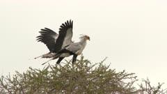 Secretary bird (Sagittarius serpentarius) couple on top of an Acacia tree, one flying of.