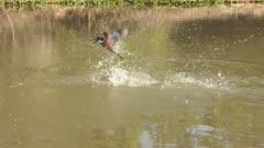 Ringed kingfisher (Megaceryle torquata) catching fish in  Pixaim riverside, Brazil. Slow motion.