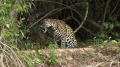 Jaguar (Panthera onca)scratching and walking away through vegetation, in the Pantanal wetlands, Brazil