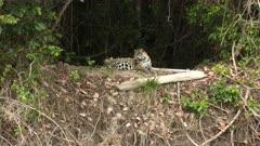 Jaguar (Panthera onca) pregnant female resting on riverbank, in the Pantanal wetlands, Brazil