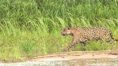 Jaguar (Panthera onca) hunting along riverbank, in the Pantanal wetlands, Brazil