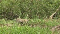 Jaguar (Panthera onca) walking  on riverbank, in the Pantanal wetlands, Brazil