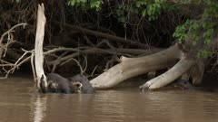 Giant river otter (Pteronura brasiliensis) family cleaning themselves and playing on a branch above the water in the Pantanal wetlands, Brazil, 4k.